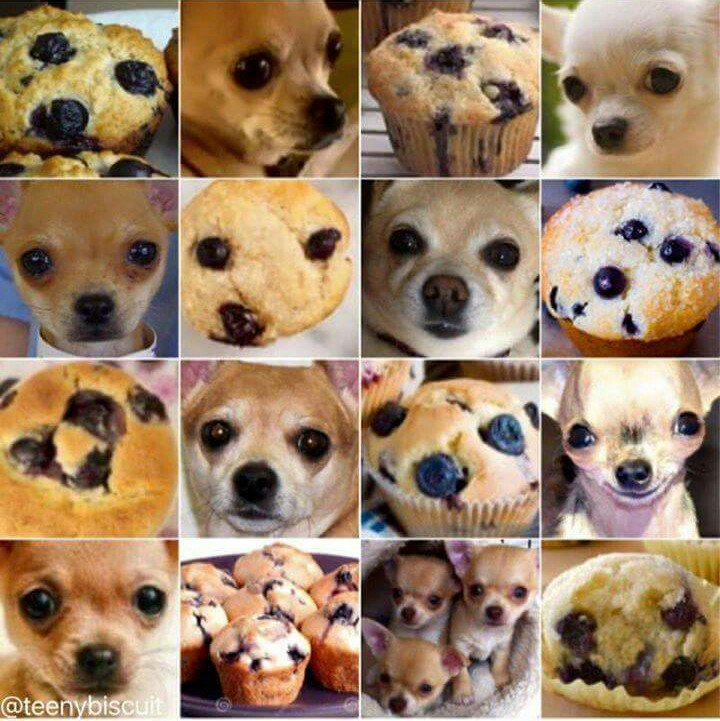 Chihuahua or muffin? https://t.co/YeLmGNyEiY
