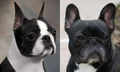 difference between french bulldog and boston terrier victoria laube on twitter quot difference between french 8320