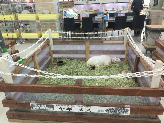 ホームセンター行ったら、ヤギ売ってた https://t.co/HbJwswbA6Y