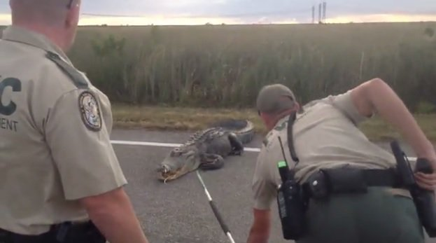 "Un coccodrillo ""arrabbiato"" cerca di attraversare la strada in Florida, il video su Facebook"