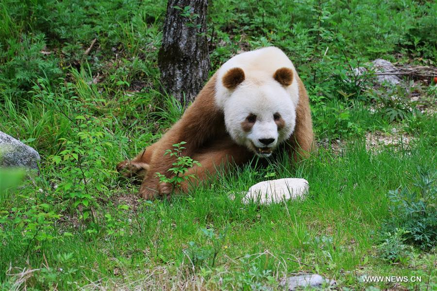 Brown giant #panda is extremely rare in #China as only 8 pandas of such kind were found since records began. https://t.co/GxSkfLeiD7