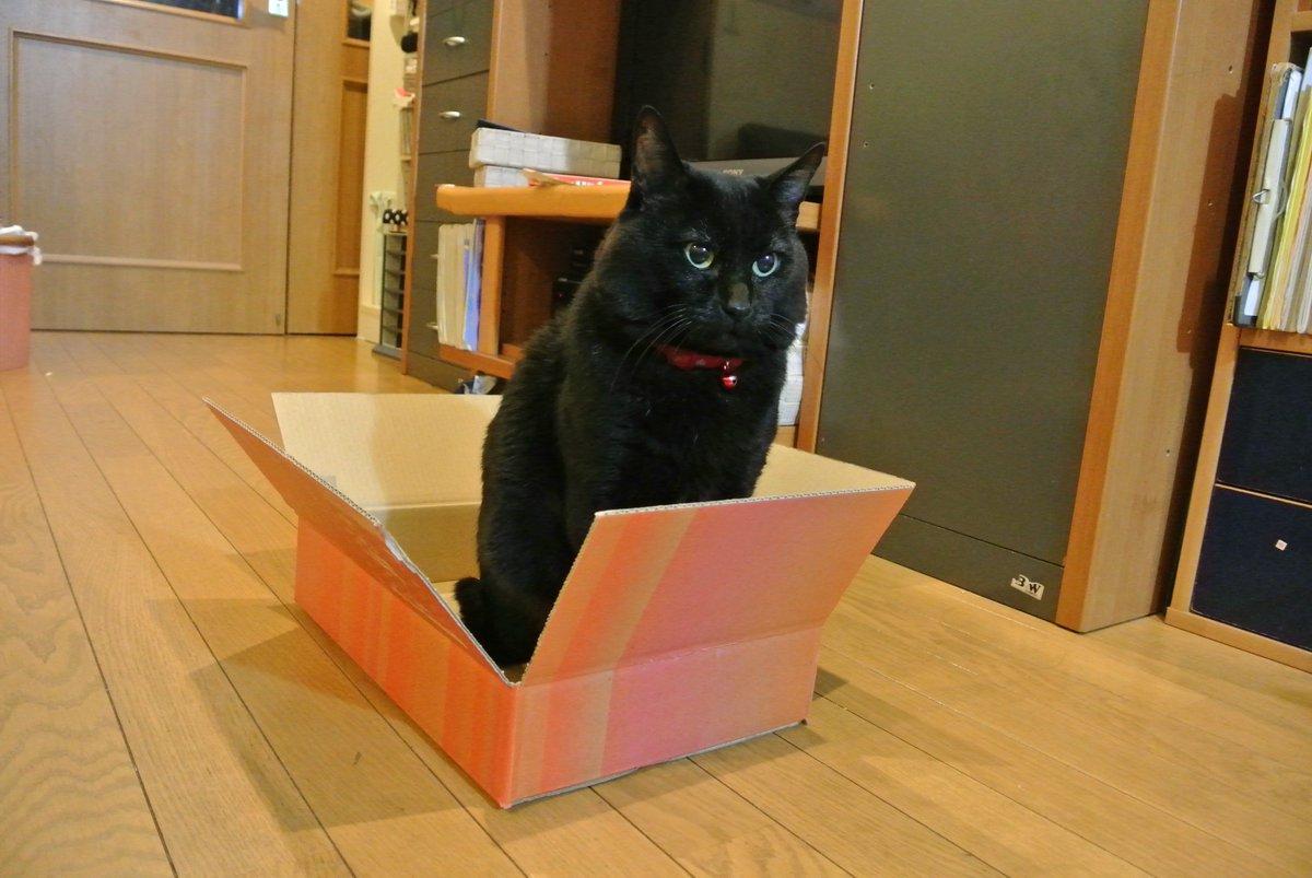 #フェリシモ 届くとすごい視線でこの箱狙ってくるw開封すると走ってきて居座り開始( ̄ω ̄)フェリシモサイコー♪ @felissimonekobu @FELISSIMO_SANTA https://t.co/xnA8JTQJgY