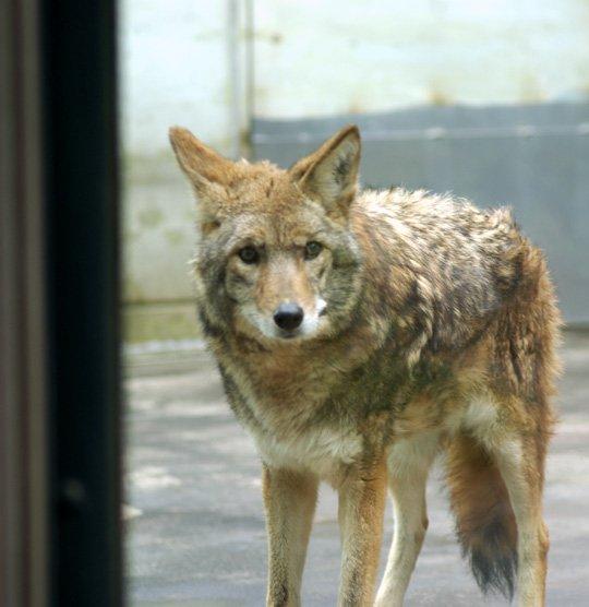 天王寺動物園「本日、当園で飼育していたコヨテが亡くなりました。 国内では当園でしか見られない動物だったので、残念です。」 https://t.co/dZPXqAbalB https://t.co/D9W82JHrd0