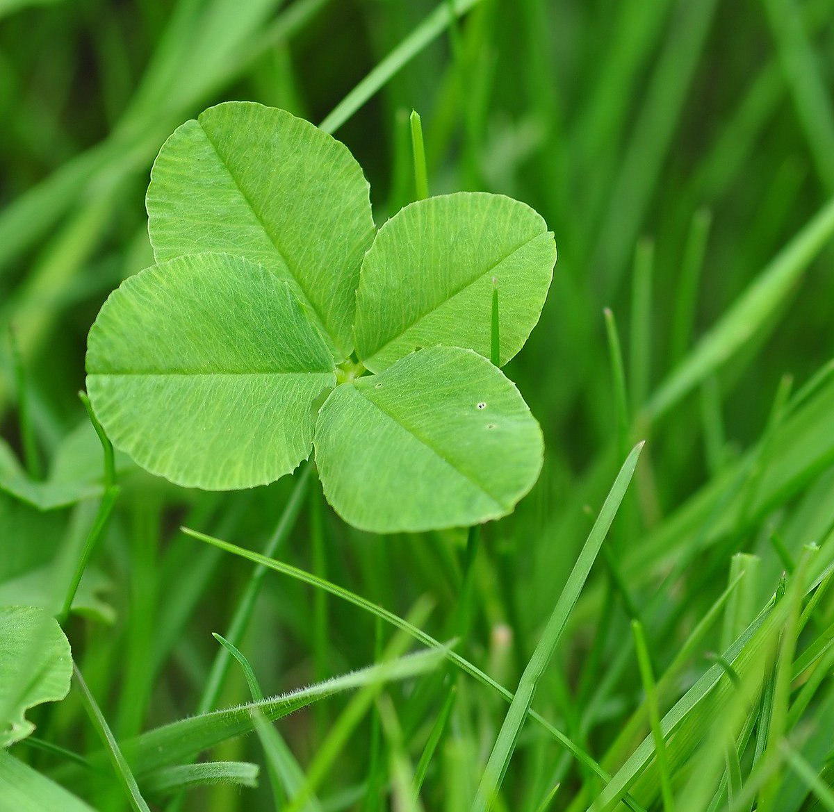 Did you know that it is estimated that a four leaf clover occurs once in about 10 000 clovers? #StPatricksDay https://t.co/cvj4yv3pIq