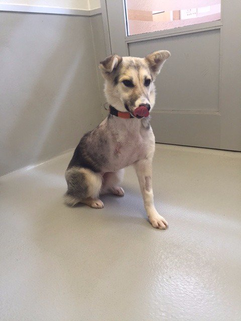 Yazmine, a three-legged dog, is available for adoption! #adoptdontshop https://t.co/zfmpIVfRxH