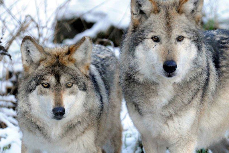 Mexican wolves Gypsy & Diablo at Wolf Haven as part of Species Survival Plan's captive breeding program #LoboWeek https://t.co/2sd96y2Nqk