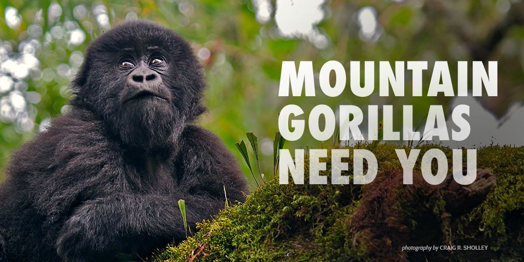 Oil companies are putting Virunga's gorillas at risk—take a stand: https://t.co/CqOARa2oG3 #AWFadvocate https://t.co/I0PTRcTuZH