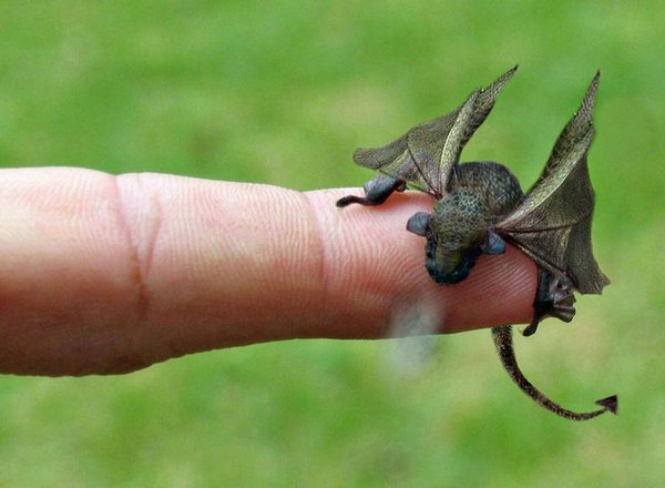 Closeup of a black baby dragon on a fingertip - really ral