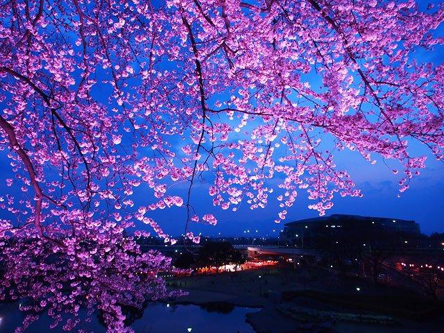 前橋公園の夜桜ですー。今夜は夜桜を楽しんでいる人がたくさんいそうですねー。  前橋公園 夜桜 https://t.co/k4JF4tzgQ0   #gooオススメ https://t.co/9gii2C182B