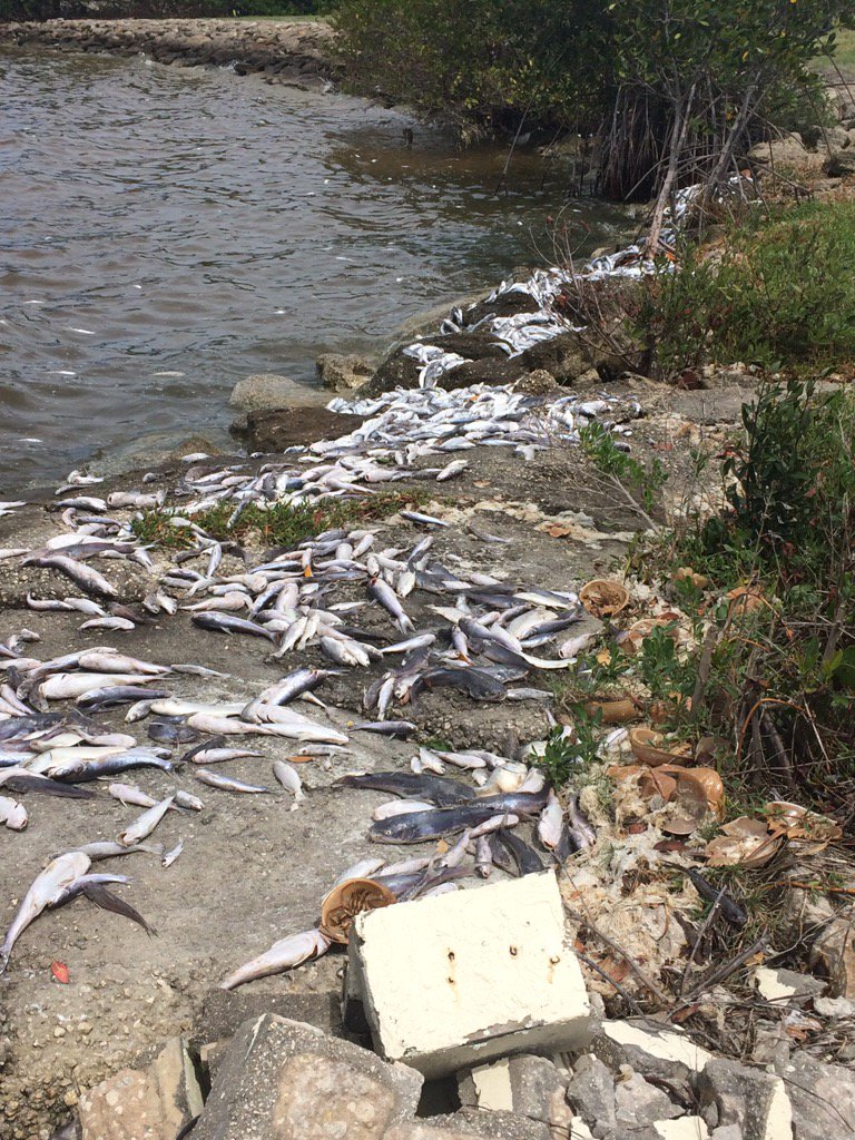 Fish kill. Cocoa Beach on the Indian River Lagoon.  Scientists say Lagoon at tipping point. https://t.co/ZS6iIGPwlz