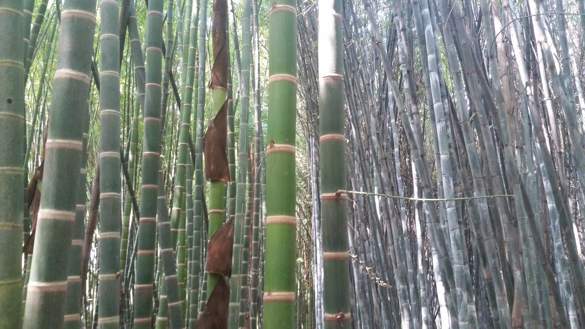 Bamb Gigante Onlymoso.Bambu Bambu Abcd Twitter