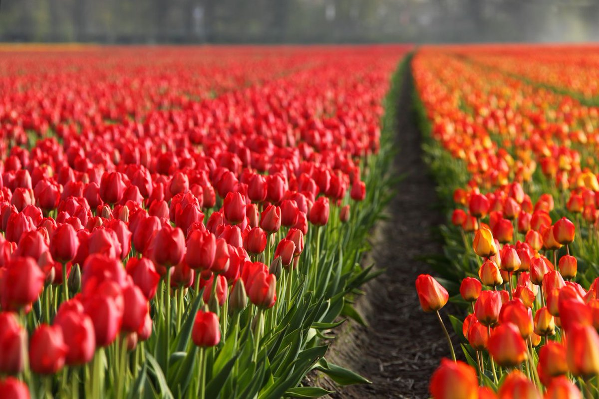 Фотографии самых красивых тюльпанов