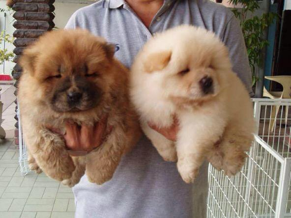 CHOW CHOW PUPPIES ARE SO ADORABLE 😍