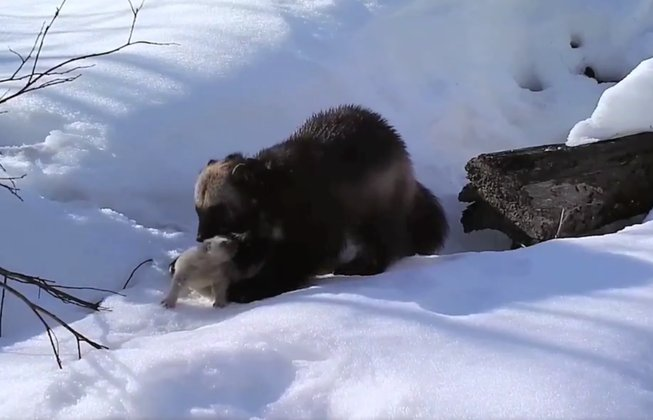 Watch the world's first footage of wild wolverine mother with kits https://t.co/vtQQFLm2pK https://t.co/b5x0KeFowR
