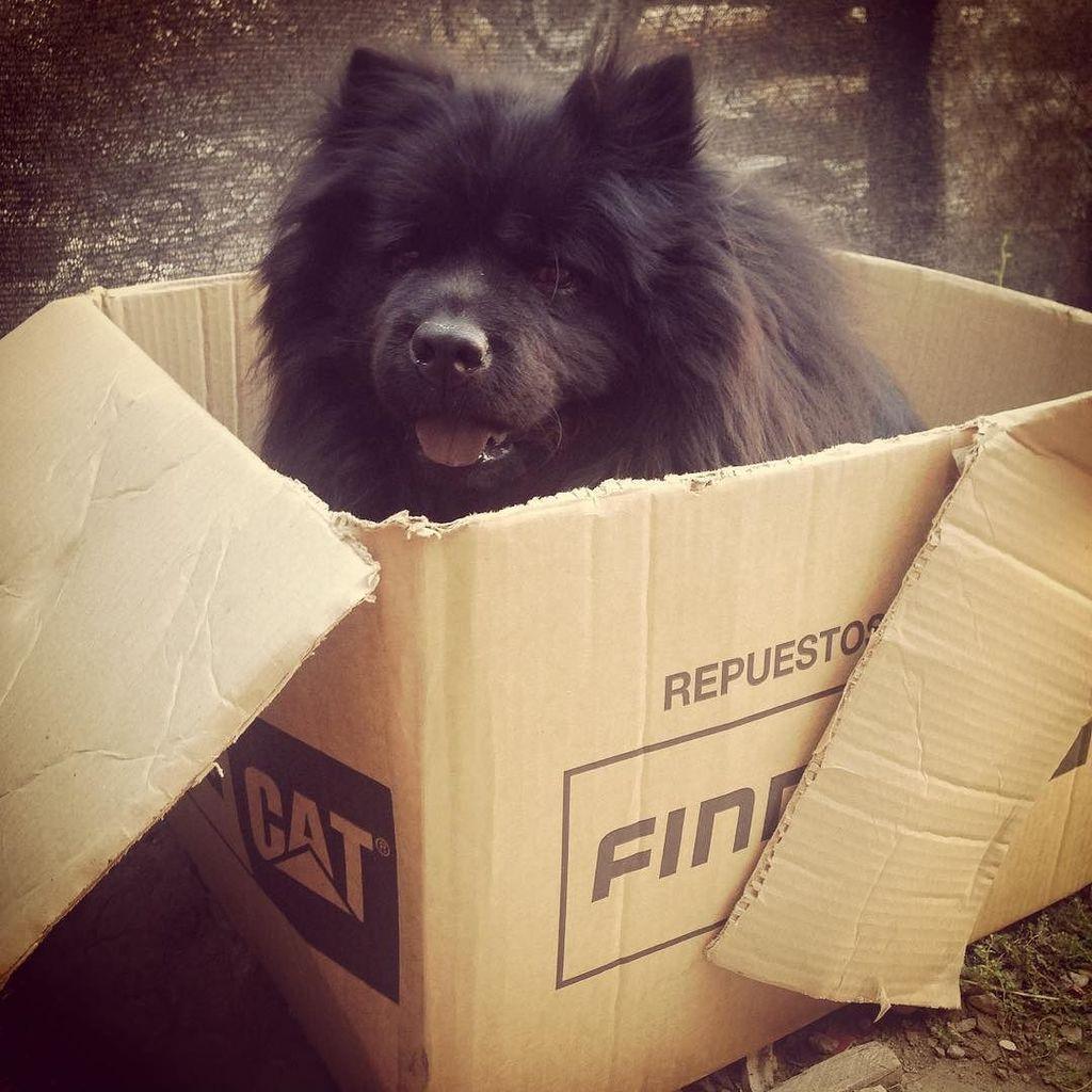 Queen #box #chowchowsofinstagram #lovepets #pets #chowchowpuppy #chowchowdog #chowchowlife #chowchowblack #chow…pic.twitter.com/KLjWwLL9pF
