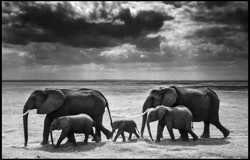 "61 B&W #Elephants #Africa #Photography Gallery by Laurent Baheux (@laurentbaheux): https://t.co/Np3WATzubW"" https://t.co/QIjLhpAsHO"