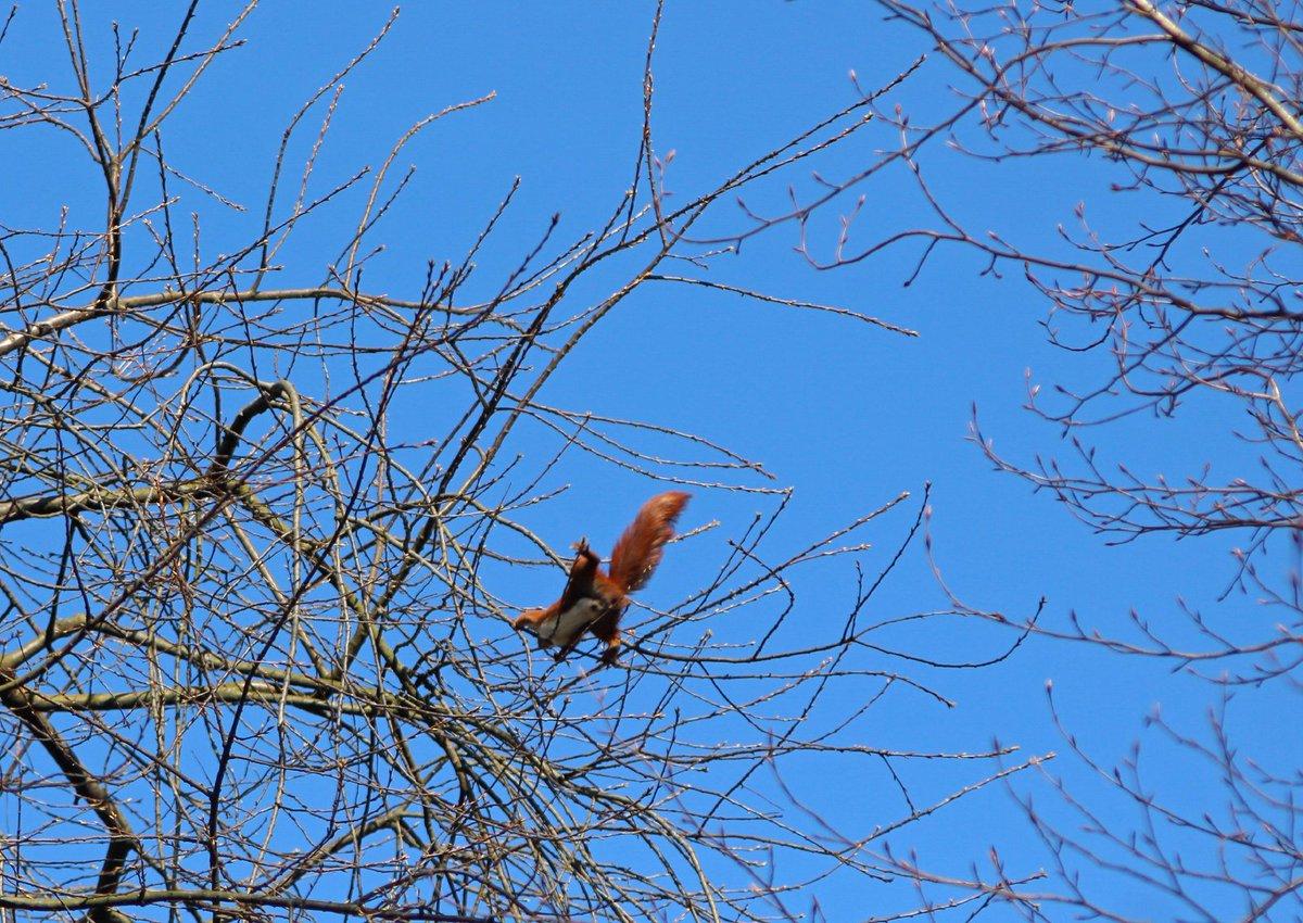 fliegende eichhörnchen