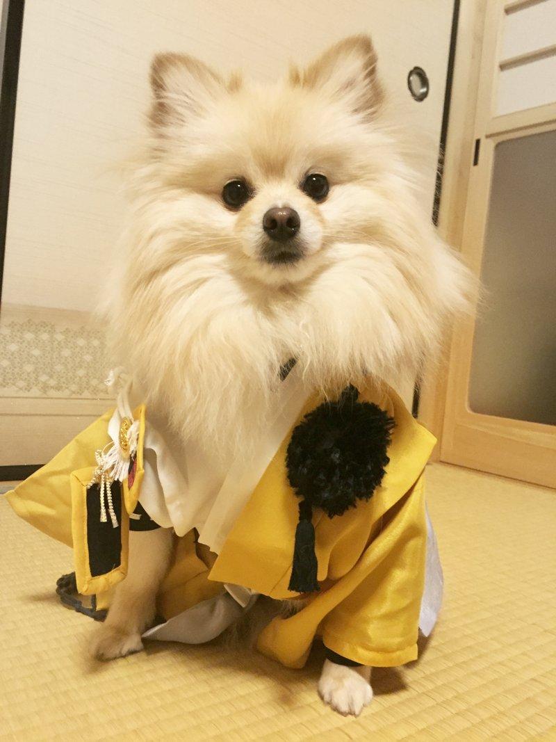 お犬様に付き合ってもらって小狐丸コスプレ〜 pic.twitter.com/M0LelZOJZj