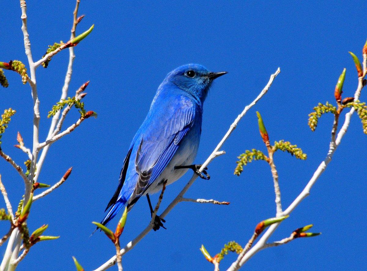 Uplifting Monday blues. Mountain bluebird, Seedskadee Natl #WildlifeRefuge https://t.co/FpwMm4RGjN Tom Koerner photo https://t.co/UB2n6VNrxe