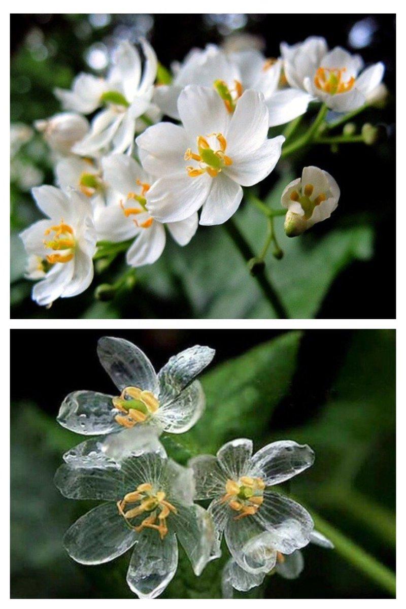 오우 신기하다 이슬 맞으면 투명해지는 꽃이래 산하엽, Skeleton Flower   꽃잎이 젖은 정도에 따라 투명도도 달라진다고, 물기가 마르면 다시 흰색으로 돌아옴. https://t.co/Q45JmQaiv3