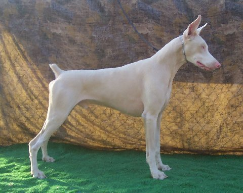 Jims White Doberman On Twitter Akc White Doberman Puppies