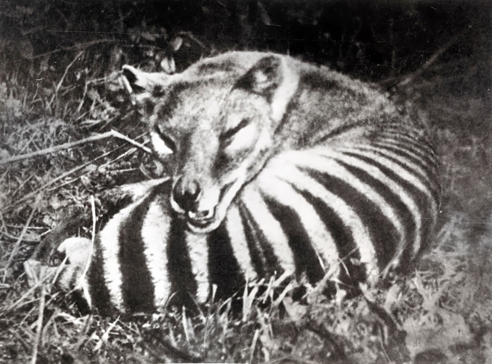 Unless you're a specialist/obsessive, there are lots of thylacine pics you won't have seen before... #marsupials https://t.co/CQxV4yQJ3o