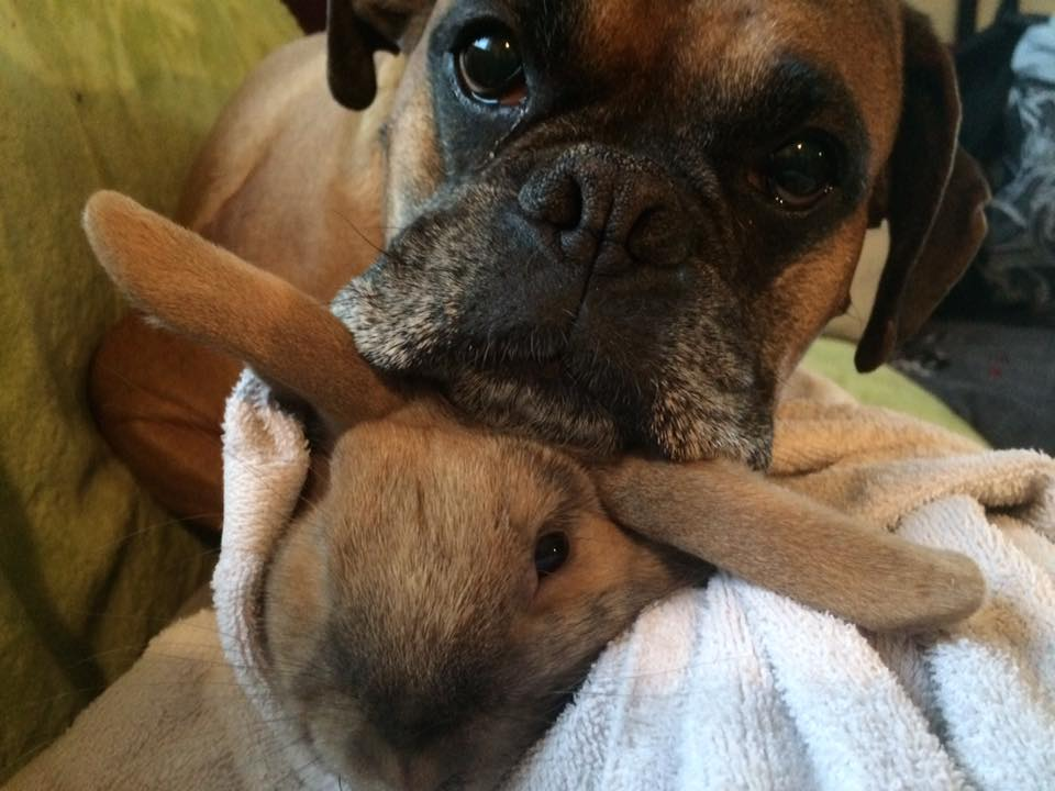Banks playing with his dwarf Bunny brother! - Boxer Forum ...  Boxer Dogs With Bunnies