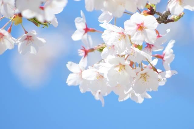 一の俣温泉 さくらまつりWeekがスタート! なんと温泉入浴料が半額!ジビエフェア、期間限定、桜もち&さくらプリンを販売! 多数イベントも開催!お気軽にご来場ください♪ #一の俣温泉 #ジビエ #さくらまつり #温泉 #拡散希望 https://t.co/tpuxU6tWzR