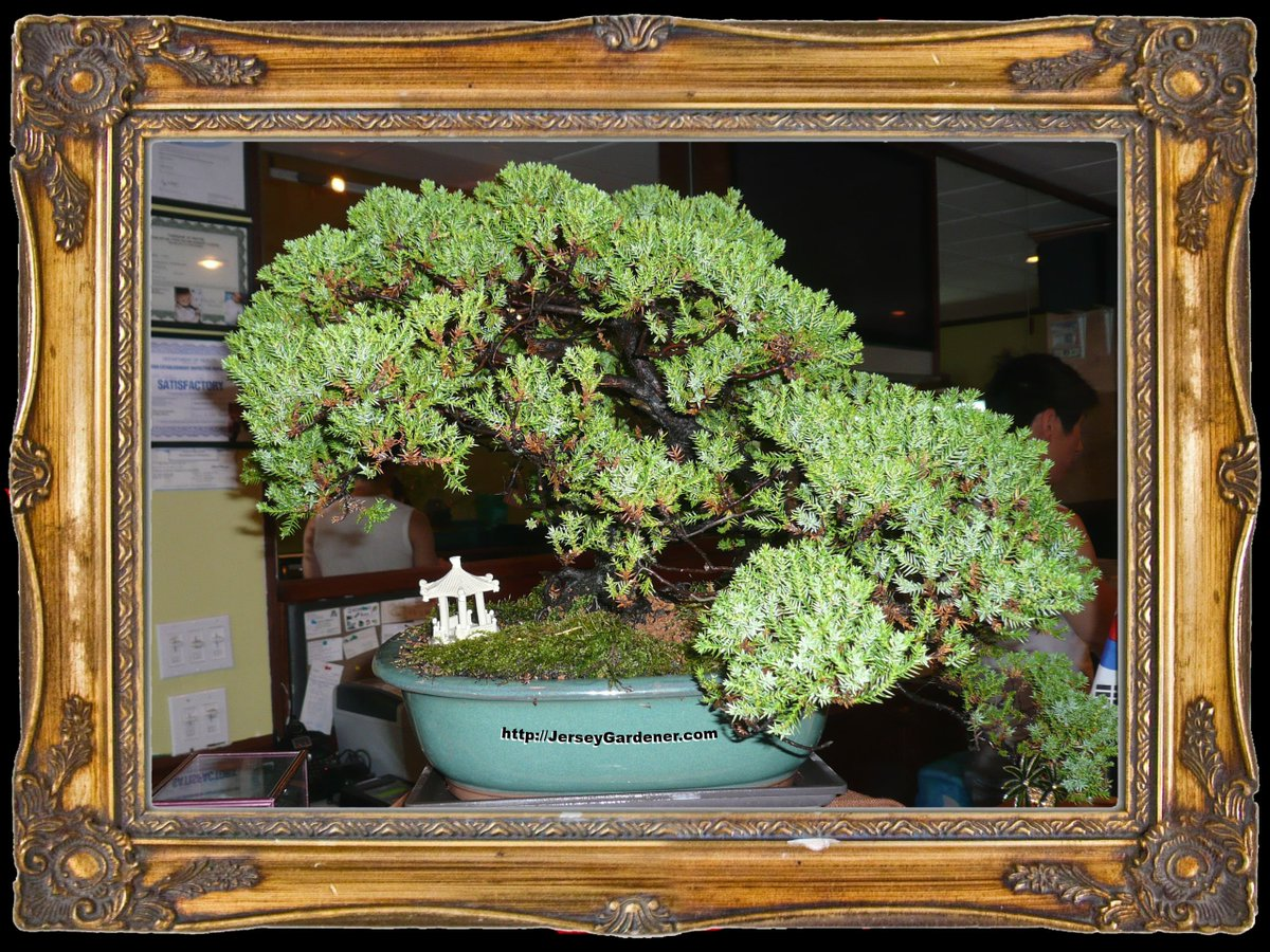 Japanese Bonsai, an art of patience.  45 yr old Juniper. #Bonsai #gardening #art https://t.co/4bWS3S8Vgc https://t.co/WqZypxRuPb