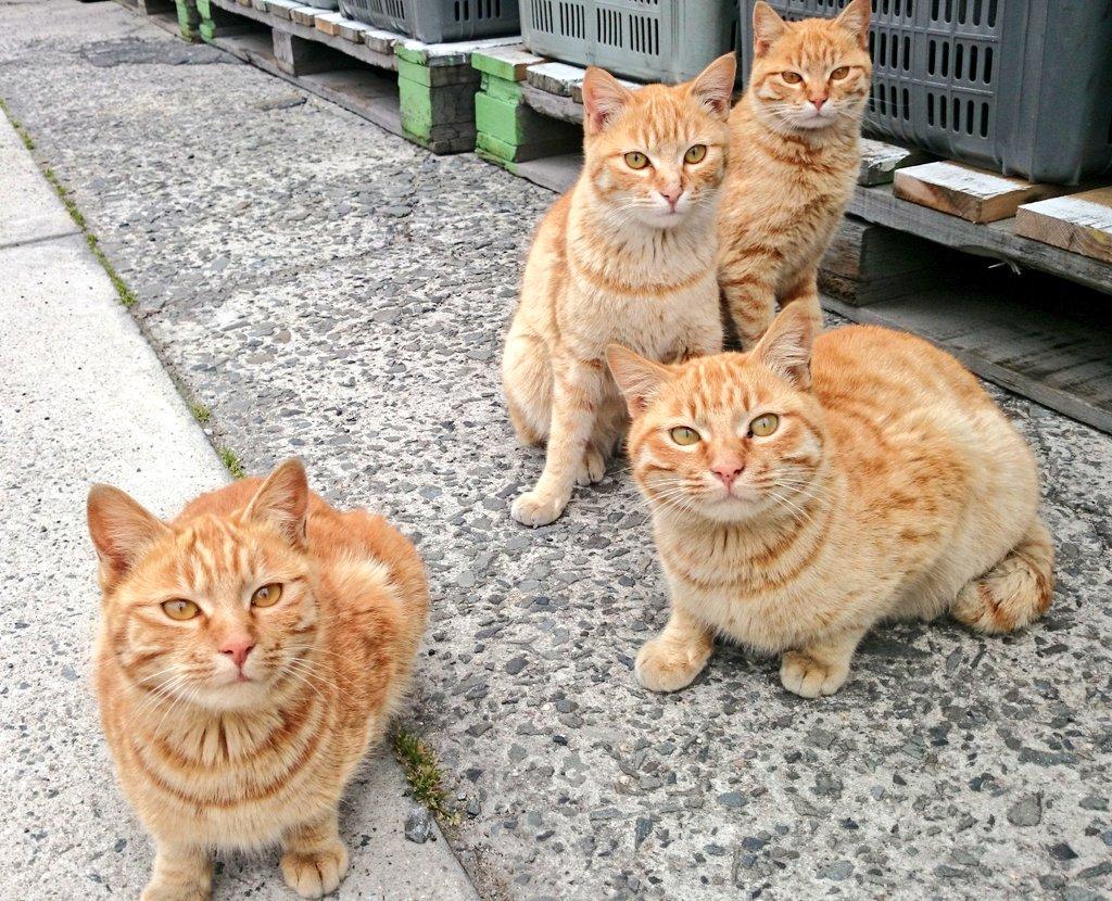 というわけで愛媛の睦月島という猫島に来たんですけど、ここの猫の95%が茶トラという茶トラ天国 pic.twitter.com/xwB9Eo9Zyc