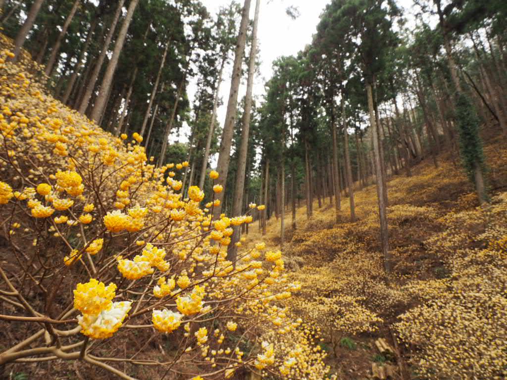 焼森山のミツマタ群生地