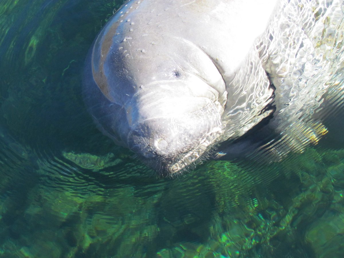 Today is Manatee Appreciation Day! Slow your boat while in seasonal manatee zones. #MyFWC https://t.co/LJ1GmccHgE https://t.co/EXIPwCfAj0