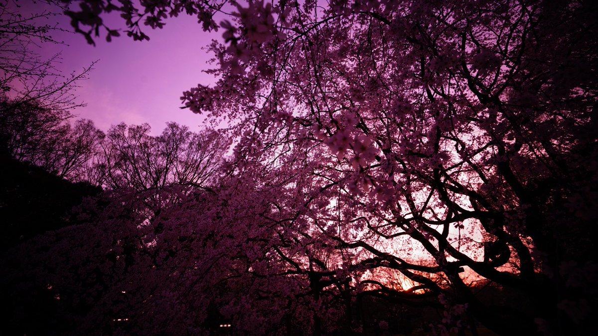 #イマソラ 六義園の、しだれ桜と夕陽 α7RII FE 16-35mm F4 ZA #αアンバサダー https://t.co/dzvEwxp5fi