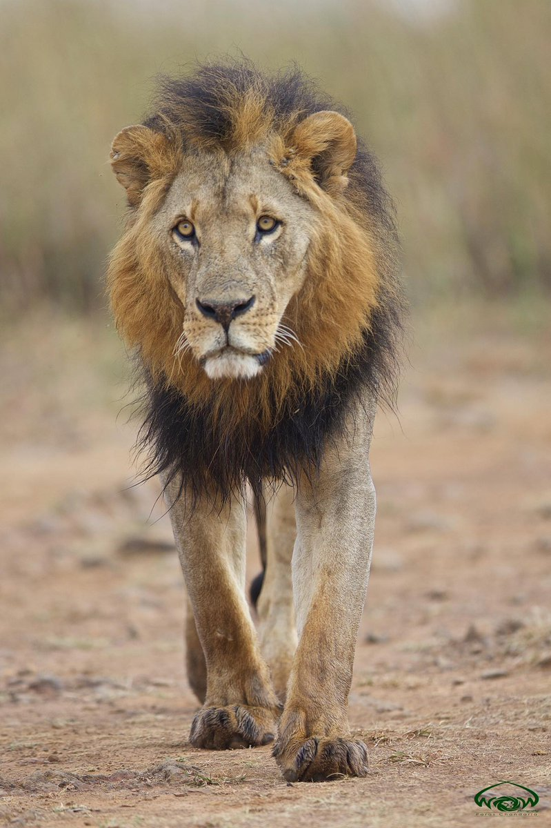 Confirmed: Lion killed is Mohawk - one of Nairobi national park's most famous residents. Photo/Paras Chandaria https://t.co/Tw3kNSTVdD