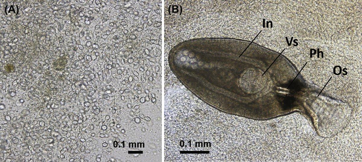 """Parasite-Journal auf Twitter: """"クラゲ類を中間宿主とする吸虫類の寄生率、寄生個体数の季節的変動  https://t.co/Xc2k3untmd https://t.co/o5AH30UvrP"""""""
