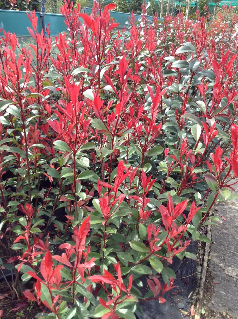 the otter nursery on twitter our photinia fraseri robusta compacta are very popular at the. Black Bedroom Furniture Sets. Home Design Ideas