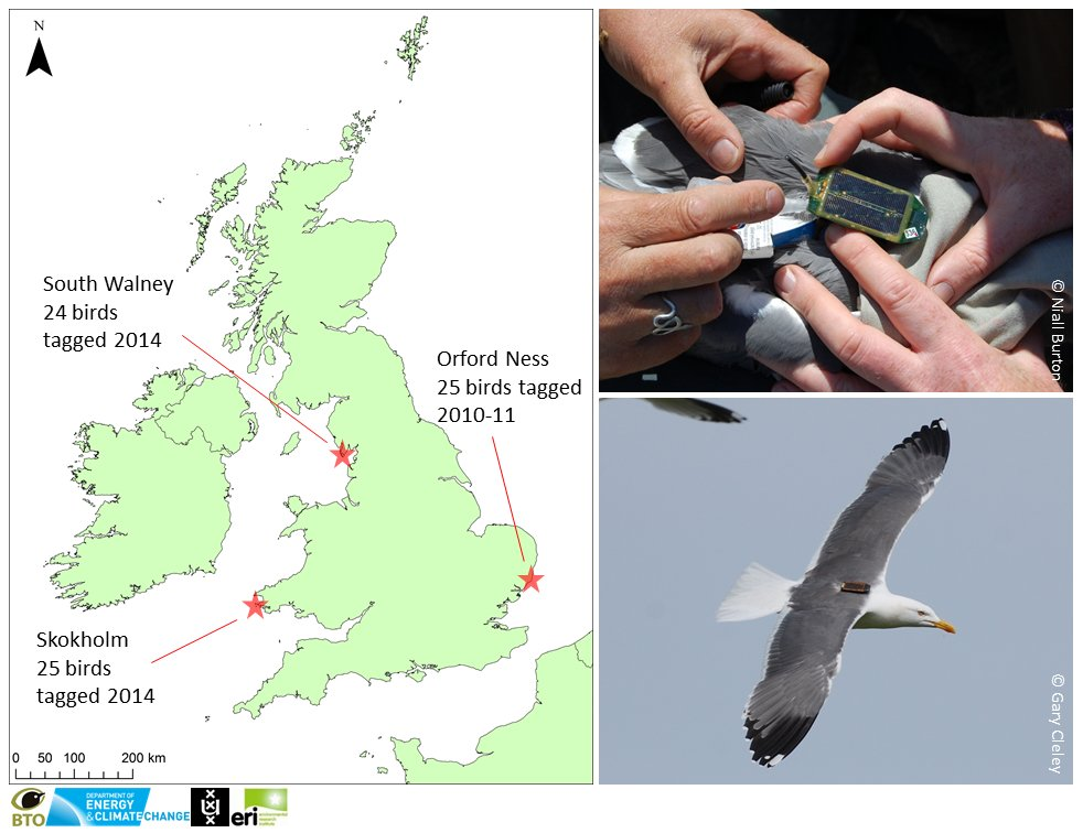 2/6 #WSTC2 @_BTO @UvA_Amsterdam and @ThinkUHI #GPS tracked Lesser Black-backed Gulls to study wind farm interactions https://t.co/tD1fjUR3YD