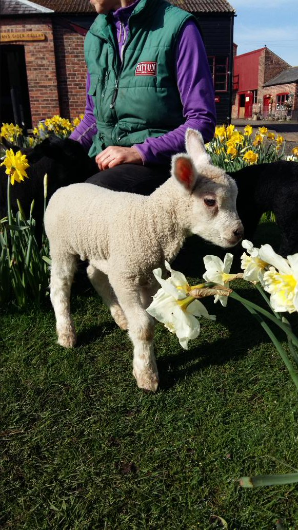 The lambs are loving the sunshine down on the farm today! Could it be that Spring is finally here? https://t.co/R2htuIn7KQ