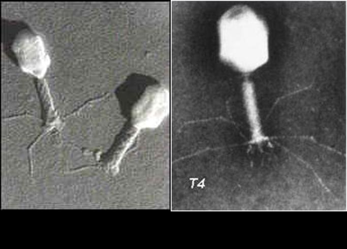 Imágenes de fagos. Adivina cuál obtenida x microscopio electrónico de barrido o x uno de transmisión #microMOOCSEM https://t.co/bbg6G6biaX
