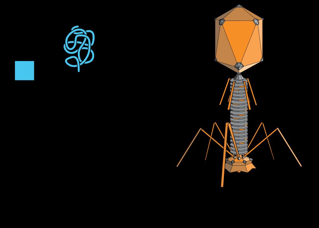 Estructura fagos: cápside (cubierta proteica) que contiene material genético, puede ser ADN o ARN #microMOOCSEM https://t.co/ig39ykpGVA