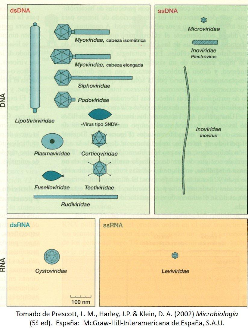 Clasificación de los fagos por morfología y características de su ácido nucleico #microMOOCSEM https://t.co/FvrwXRvTiU