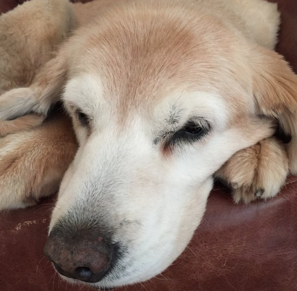 This is Emmie. She's 12. Just had an operation. She's doing well! Here's a toast to all of the old dogs out there. https://t.co/5X0I3diEQe
