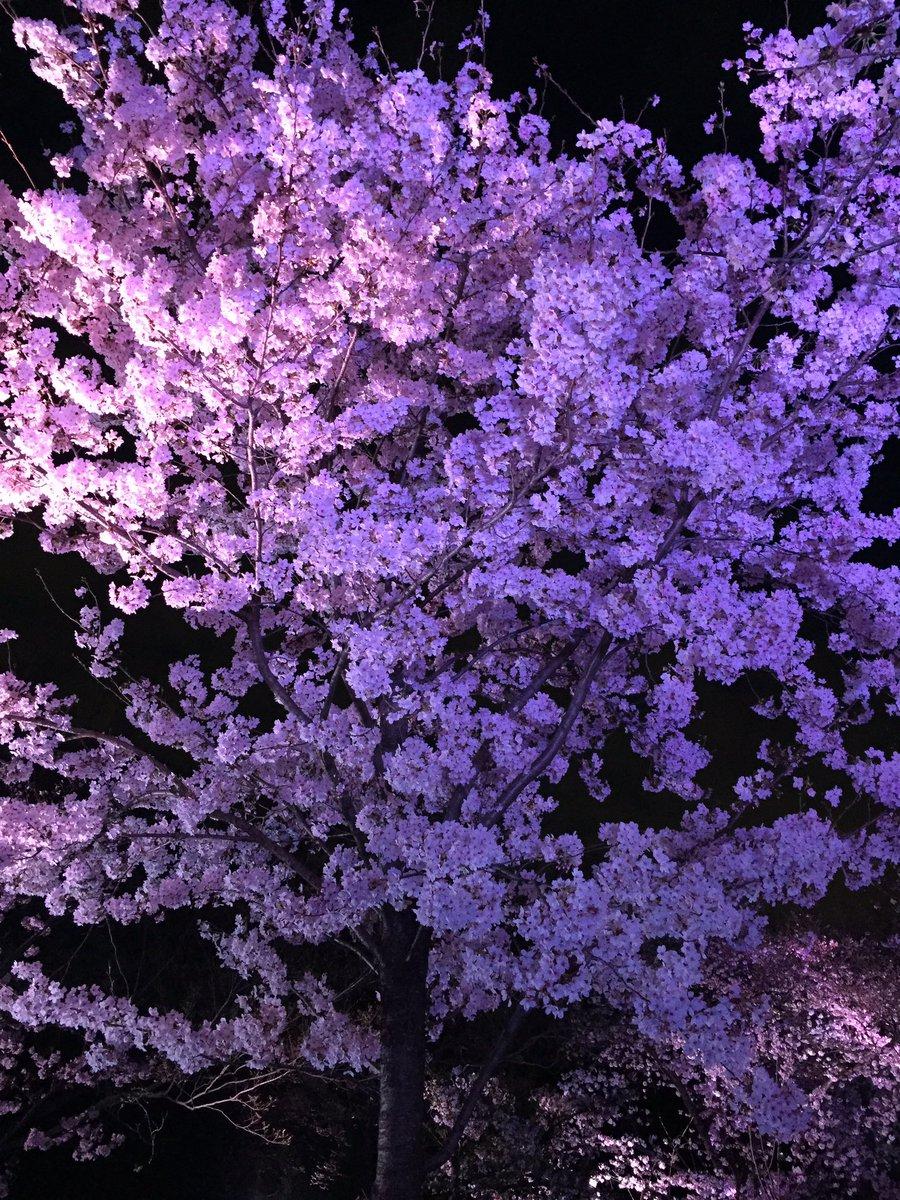 ライトアップ夜桜 https://t.co/oTxD2eI2ve
