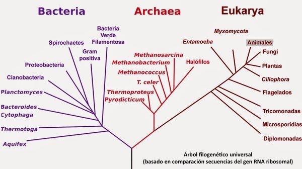 Árbol filogenético universal de los seres vivos por comparación secuencias del gen RNA ribosomal #microMOOCSEM https://t.co/mlowE8G2wo
