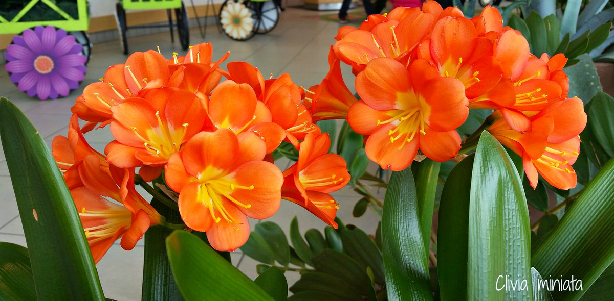 Clivia miniata, bush lilies in the Amaryllis family originally from South Africa, are now in bloom in the lobby. https://t.co/MPeek4cNj3