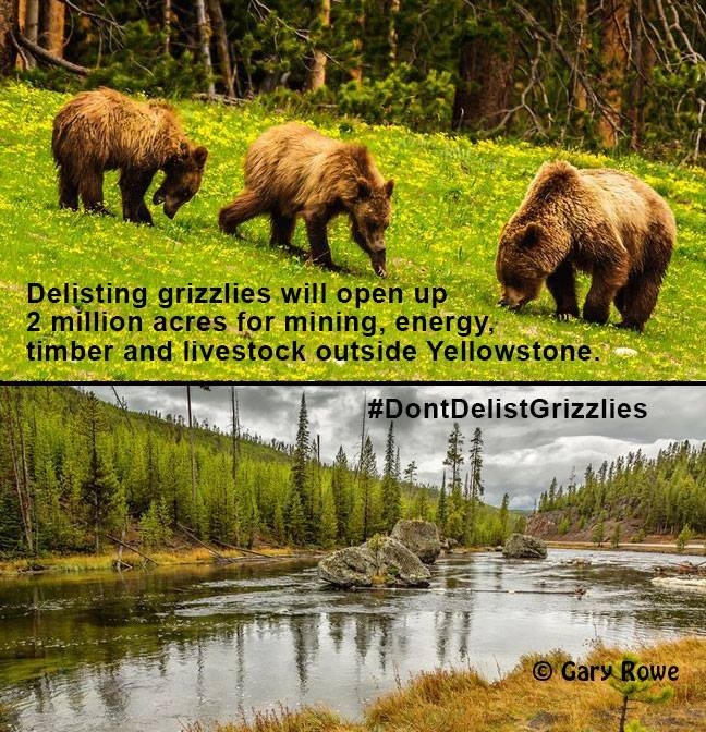 If delisted, 2 million acres of grizzly habitat open 2 oil/gas devlopment #DontDelistGrizzlies #keepitintheground https://t.co/D8WcUk90iB