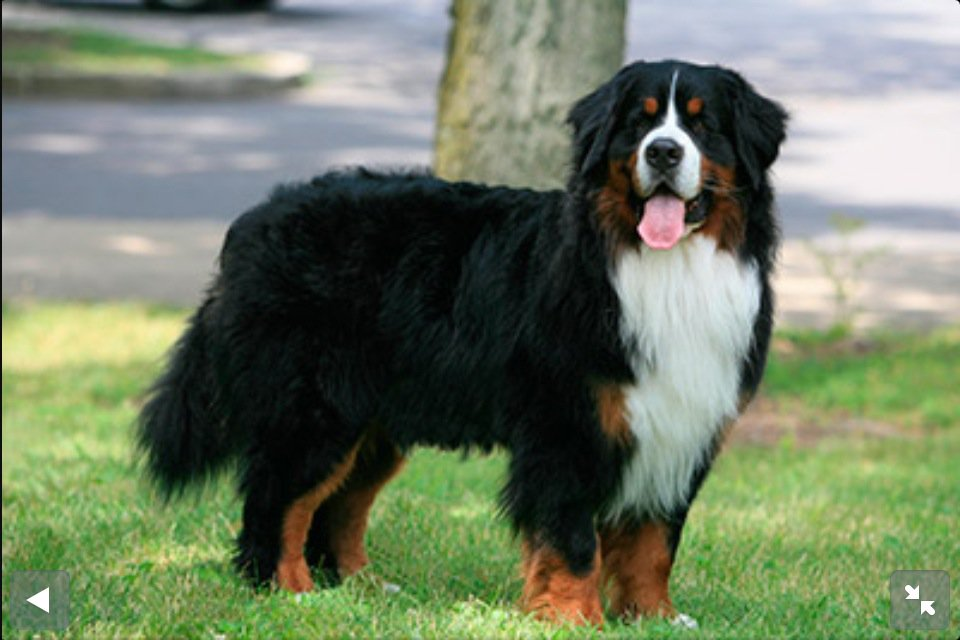 Bernese Mountain Dog Rescue Utah