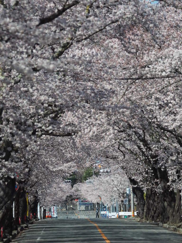 夜の森の桜並木(2016/04/05)