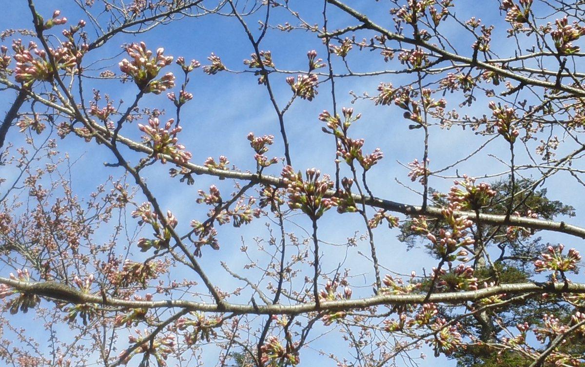 鶴ヶ城の桜基準木のつぼみが大きく膨らんでいます。もうすぐ開花です! #会津華たび #会津さくら https://t.co/tiwDe6EdBb