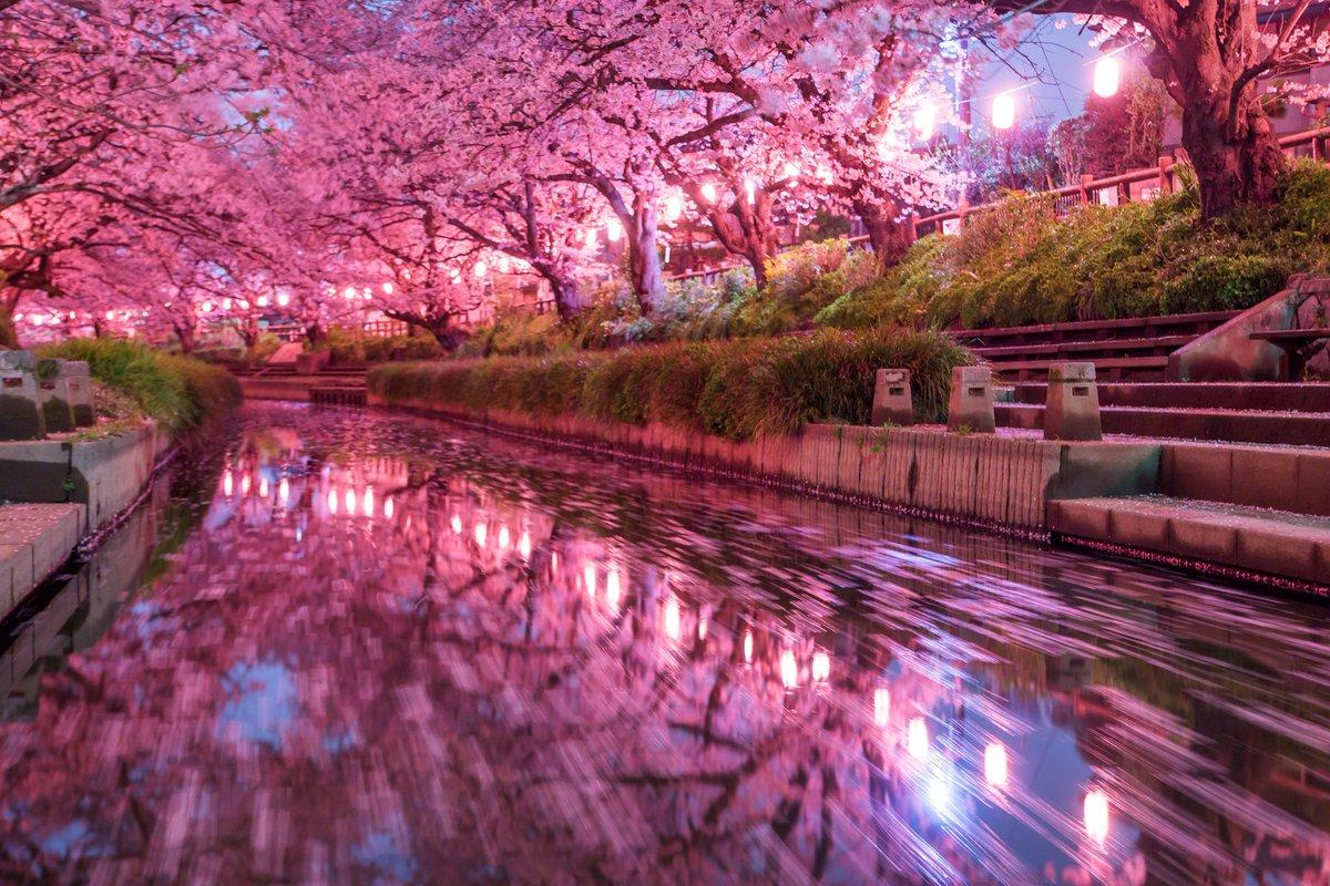 昨日の元荒川の夜桜写真で一番のお気に入り。水鏡に美しく映る桜と提灯、川面を流れる散り桜の動きを思い通りに収められた。#桜2016 pic.twitter.com/voNjmGH52c